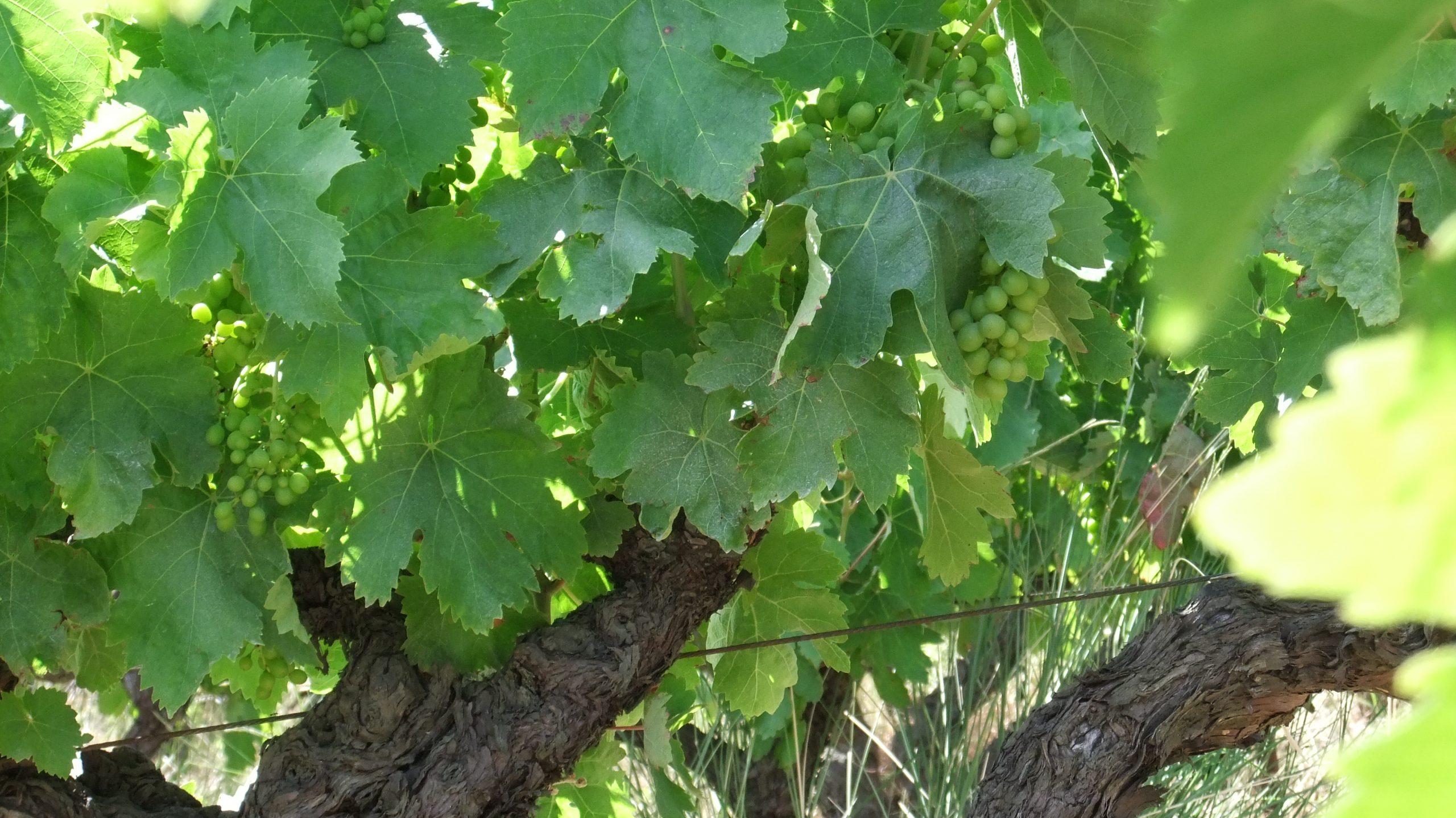 domainelespeyrieres-raisins-02